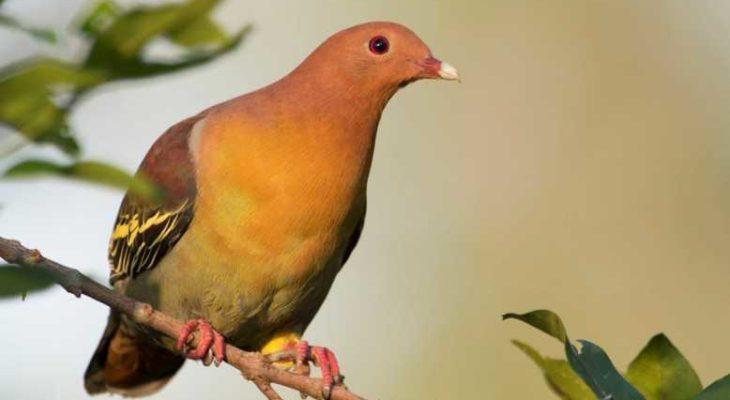 Download Suara Burung Tanah Hutan Untuk Pikatan Mp3 Harga